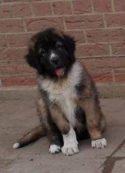 Leonberger x Germanischer