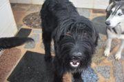 Bongo, hübscher Junghund