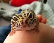 Gecko Pärchen Leopardgeckos mit Terrarium