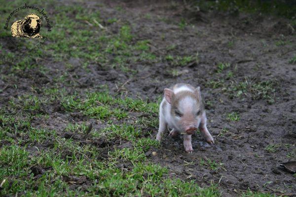 Minischweine - Microschweine- Mini » Kleintiere