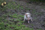 Minischweine - Microschweine- Mini