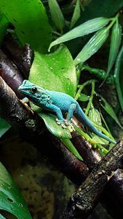 2 2 Lygodactylus williamsi - Himmelblauer