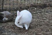 weißes Kaninchen abzugeben