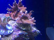 Korallenableger - je nur
