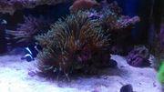 Meerwasser Gestein + Anemonen