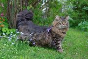 2 verschmuste sibirische Waldkatzen suchen