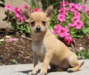 Chihuahua, die jetzt
