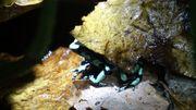 Goldbaumsteiger Dendrobates auratus