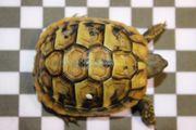 Schildkröten Griechische Landschildkröten
