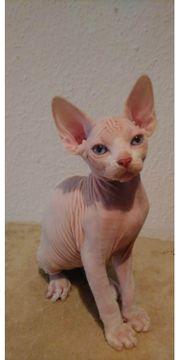 Canadian Sphynx Kitten