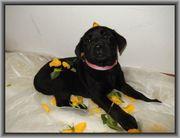 Labrador Retriever Welpen aus Familienzucht