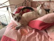 Siam Mix Kater