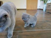 BLH und BKH Kitten mit