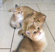 Bkh Kitten in golden Shaded