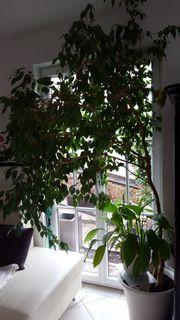 Ficus Benjamin 2,