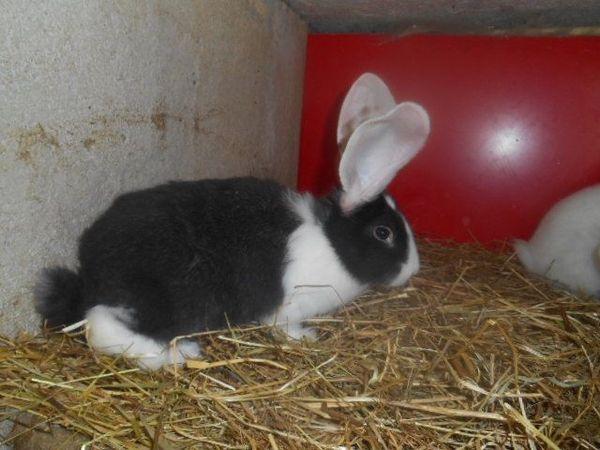 Junge Stallhasen, Kaninchen » Kleintiere