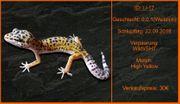 Süße Lepardgecko Jungtiere