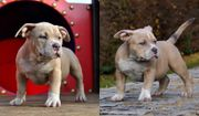 American Bully Exotic/