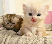 wunderschöne Maine Coon Kätzchen brauchen