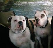 Bulldog Welpen (englisch/