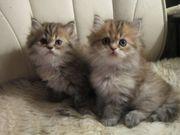 Perserkitten Baby Kätzchen zu verkaufen