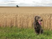 Labrador Deckrüde in
