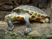 Chinesische Streifenschildkröte, Ocadia