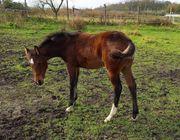 Tolle Quarter Horse