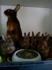 Kaninchen kastanienbraune Lothringer