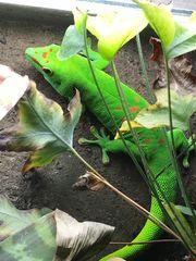 Großer Madagaskar Taggecko 1 0