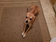Verkaufe Chihuahua-Pinscher