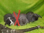 Zwergwidder NHD Minilop Rex Babys