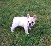 Französische Bulldogge Rüde