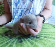 Chinchilla Baby Weibchen-Ebony Weiß Violett