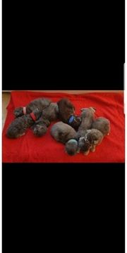süße maine coon kitten suchen