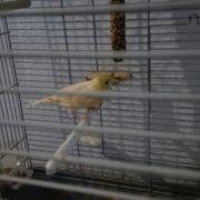 Kanarienvögel männlich und weiblich