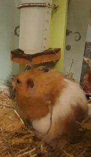 Teddy Hamster