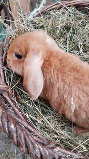 Kaninchen Deutsche Kleinwidder rot