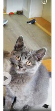 BKH Kitten blue weiss fold