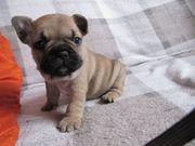 Französische Bulldoggenwelpen abzugeben