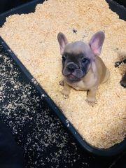 kleine reinrassige Französischen Bulldoggen suchen