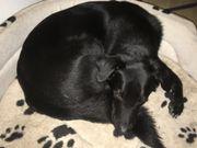 Labrador Schäferhund mix