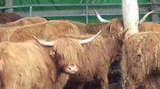 Schottische Hochlandrinder Highland Cattle Männlich