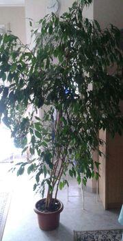 Ficus Benjamini groß