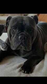 English Bulldogg Liebhaber /
