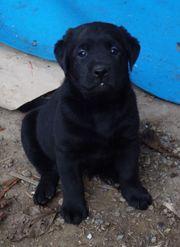 Labradorwelpen schwarz mit Ahnentafeln aus