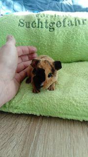 Us Teddy Meerschweinchen Böckchen mit