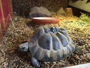 Griechische Landschildkröte 14 Jahre alt