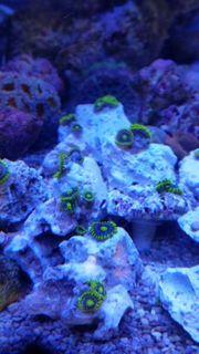 Meerwasser Korallen Krustenanemonen