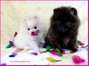 Teacup Pomeranianwelpen schwarz gescheckt weiß